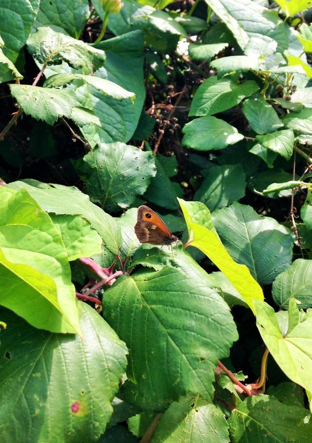 Gaston butterfly