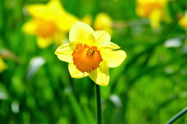 daffodil-1547149_960_720